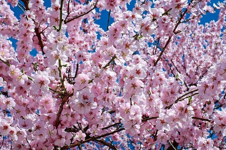 Så er det Sakura-tid igen